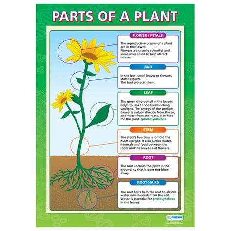 diagram of parts of a plant the basic structure of a flowering plant lifeofaplant