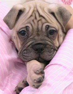 shar pei pug 1000 images about favorite ori pei on shar pei shar pei puppies and