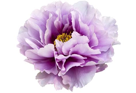 peony clipart peony flower clipart clipart suggest