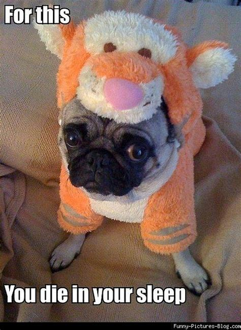 pugs in costumes pictures animals pug costume pictures megalawlz