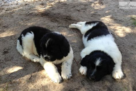 landseer puppies for sale newfoundland for sale for 1 000 near northwest ct connecticut fc852ea0 51f1