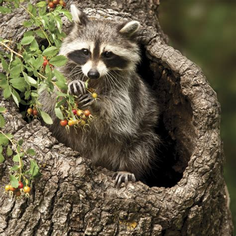 what color are raccoons species spotlight raccoon all parks oh ranger