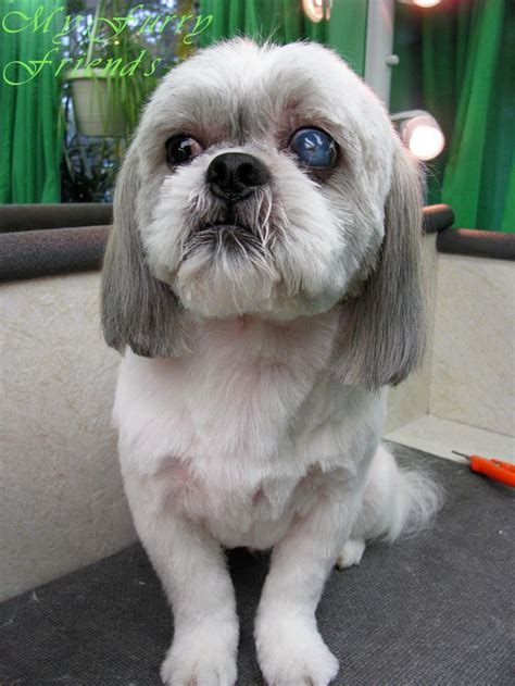 shih tzu with allergies shih tzu dogs 10 handpicked ideas to discover in animals