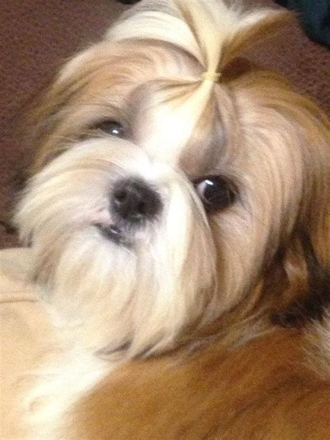 shih tzu rescue east pets for adoption at arizona shih tzu and small breed rescue in az petfinder