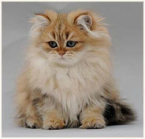Kaos Hewan Kucing 37 jenis kucing ras yang paling lucu grosir kaos distro