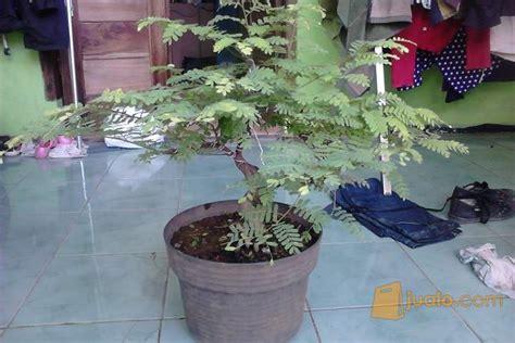 Bakalan Bonsai Asem Jawa bonsai asem jawa soreang jualo