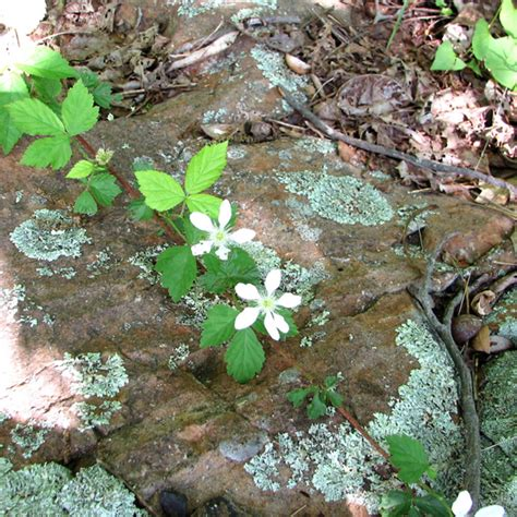 rubus flagellaris northern blackberry northern dewberry go botany