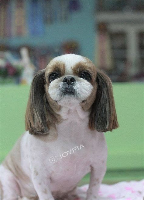 how to groom shih tzu puppy korean grooming style shih tzu grooming