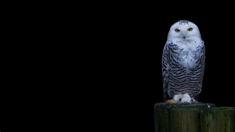 wallpaper black owl snowy owl wallpapers wallpaper cave