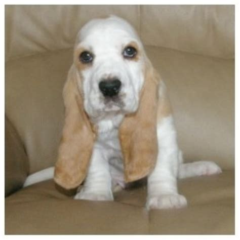 basset hound puppies virginia basset hound breeders
