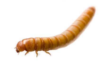 home farm ideas building a mealworm farm