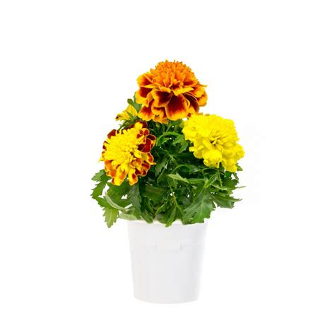 click and grow refills click and grow french marigold refill 3 pack for smart