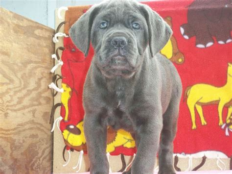 corso puppies for sale in ga k d corso corso breeder macon