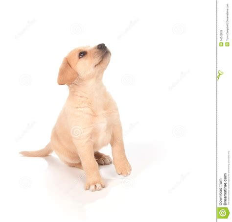 puppy up puppy looking up royalty free stock image image 14043626