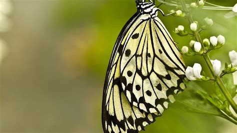 black and white butterfly wallpaper black and white images of butterflies 11 background
