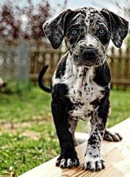 catahoula leopard temperament catahoula leopard history personality appearance health and pictures