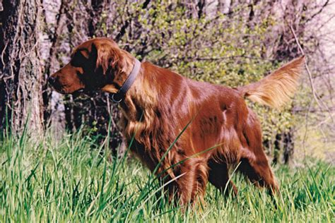 irish setters gun dog magazine breed profile the irish setter gun dog magazine