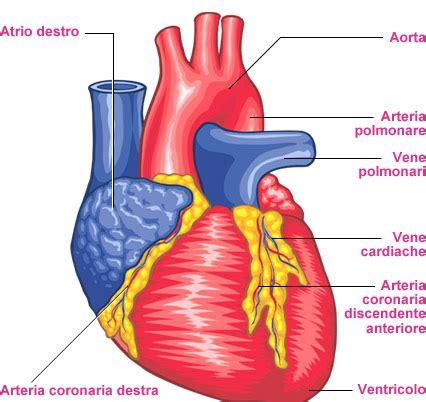 corpo umano anatomia organi interni l atlante corpo umano cuore e vasi
