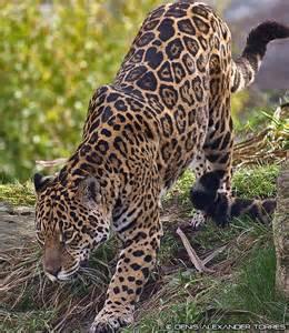 Jaguar Panthera Onca Jaguar Panthera Onca Felinidae Jaguarz