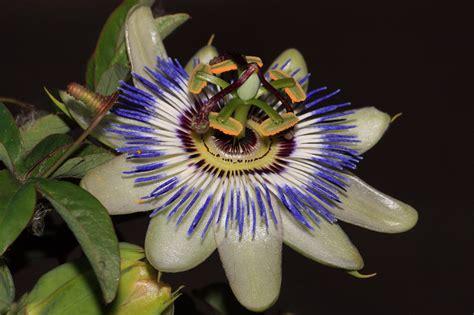 fiore passiflora la passiflora fiore di cristo foto immagini macro e