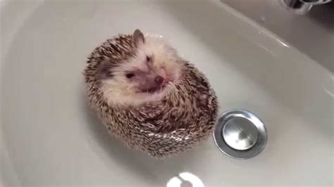 hedgehog bathtub hedgehog boat youtube