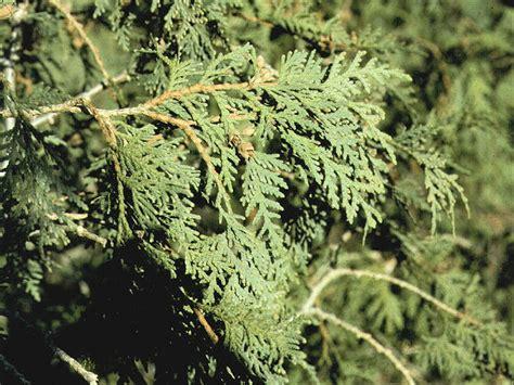 Cedar L by Isu Forestry Extension Tree Identification Northern