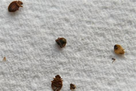 what do bed bug shells look like bed bug genome shows how gnarly these creatures really are