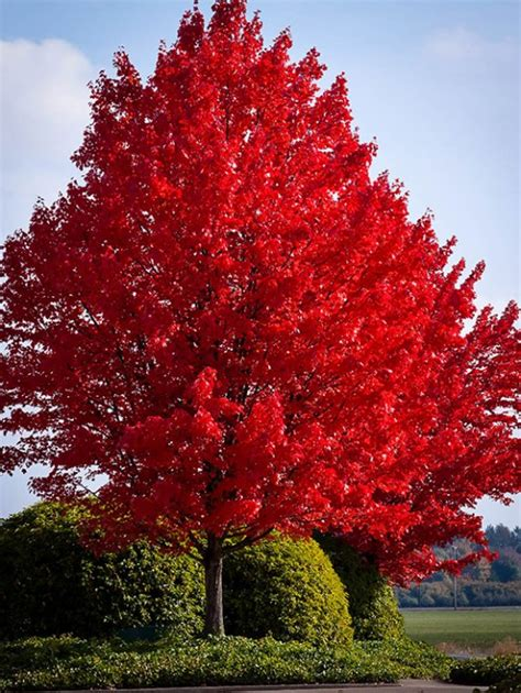 maple tree buy sold out read more