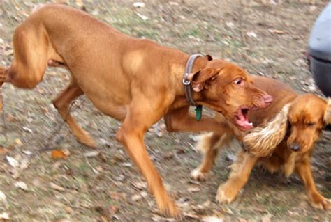 aggression in dogs to aggression on leash aggression on aggressive breeds picture
