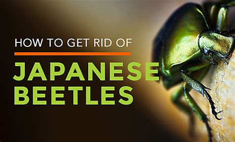 japanese beetle habitat facts how to get rid of