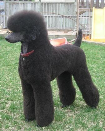 different poodle hair styles google image result for http www poodleforum com