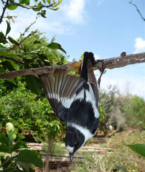 a collared flycatcher is on a limestick trap in