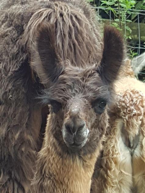 gladius watertown llamas llamas  sale llama breeder