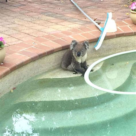 backyard broadcasting williamsport pa backyard broadcasting williamsport pa koala finds respite