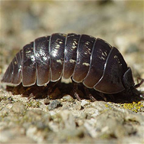 How To Get Rid Of Pill Bugs How To Get Rid Of Stuff How To Get Rid Of Pill Bugs In Vegetable Garden