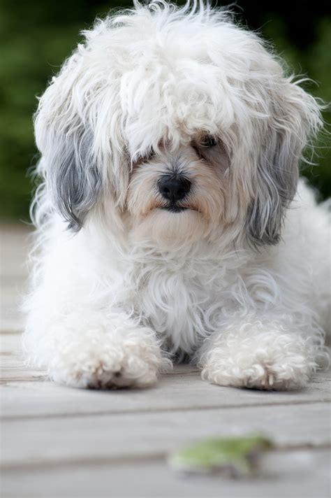 zuchon teddy puppies for sale zuchon teddy puppies available in tucson az