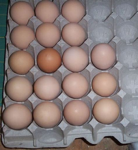 barred rock egg color coop day usa it be s that way sometimes