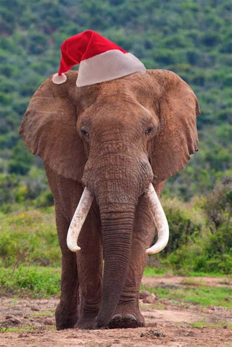images of christmas elephants 40 best humorous photos