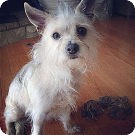 yorkie and westie mix west highland white terrier mix quotes