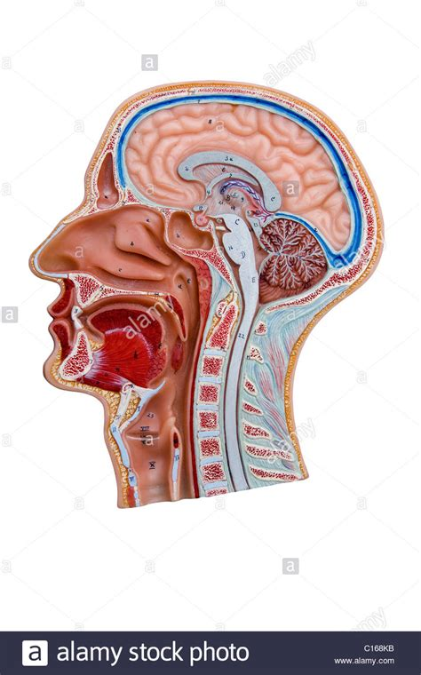 cross section of head cross section model of a human head stock photo royalty