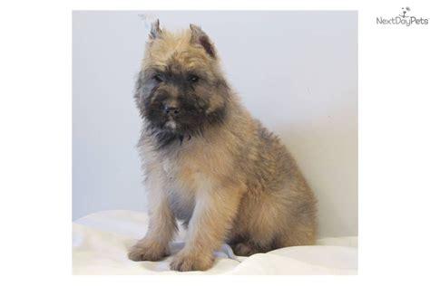 bouvier puppies for sale bouvier des flandres puppy for sale near southeast missouri missouri 8ba3be33 9c11