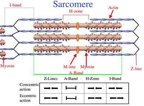 labeled sarcomere diagram image gallery sarcomere diagram