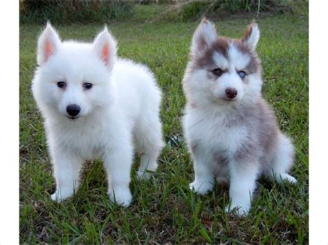 buy a pomeranian husky someone buy me a miniature husky or a pomeranian husky mix that i can only find on