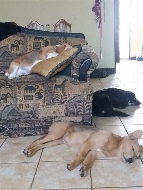 perros que duermen 5 posturas en las que duermen los perros dime c 243 mo duerme y te dire c 243 mo es revista petmi