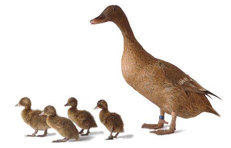 Harga Dod Bebek Peking 2018 mengenal sistem pemeliharaan bebek dan membandingkan