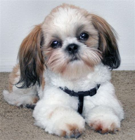 best comb for shih tzu mini shih tzu for home breeders guide