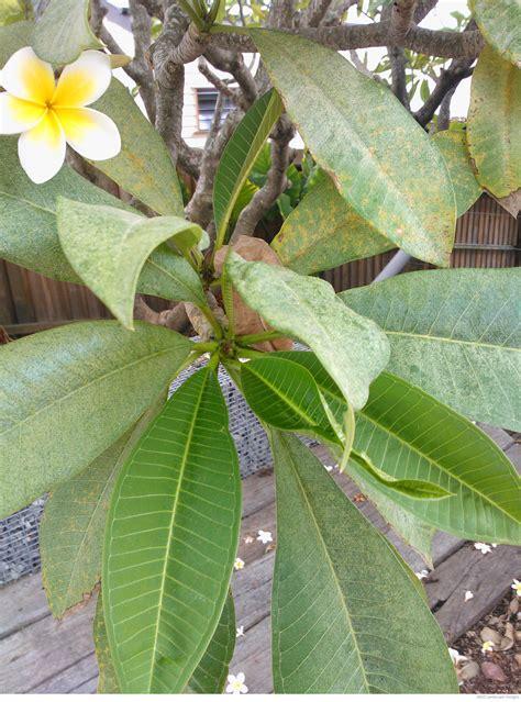 pests problems frangipani rust plants whitsunday