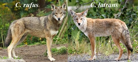 coyote hybrid coyote canis latrans pictorial