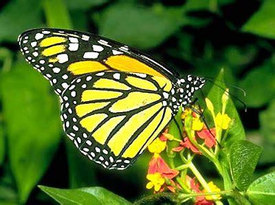 imagenes mariposas exoticas bellas mariposas exoticas