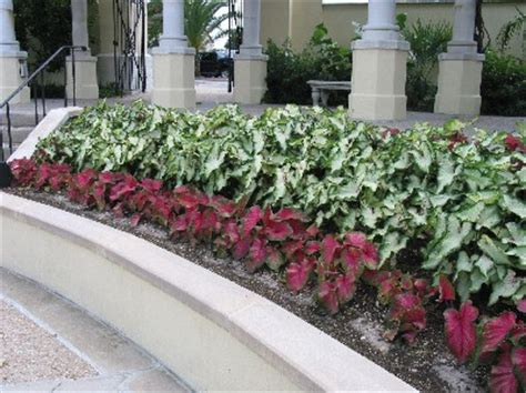 Caladiums Made For Shade, Offer Summer Color » Gardening